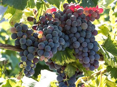 Une région de vignes où le raisin se plaît à murir